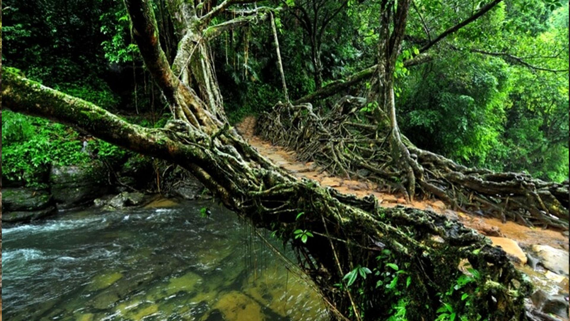 Living-Root-Bridges